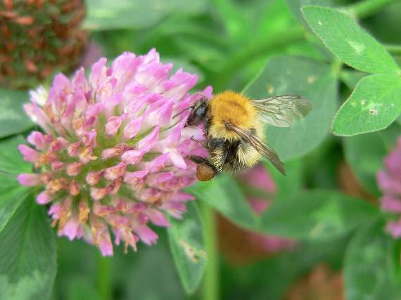 Bumblebees' key to survival
