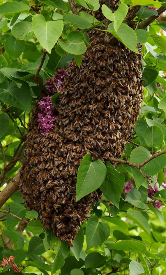 Swarming season for bees!